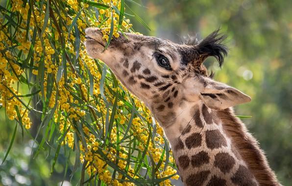 Picture food, giraffe, neck, Mimosa