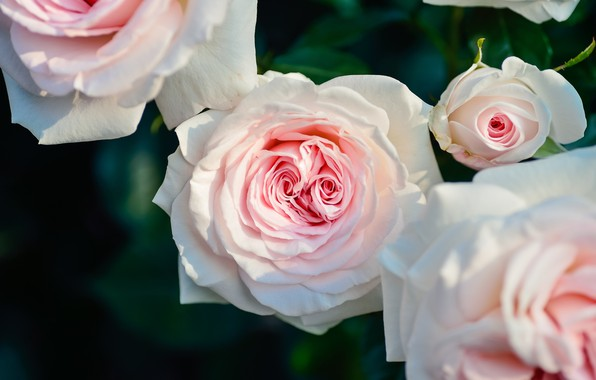 Picture Bush, roses, pink, blossom, petals, roses
