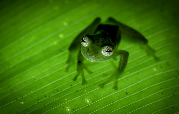 Picture nature, Costa Rica, amphibian, frog-Ghost