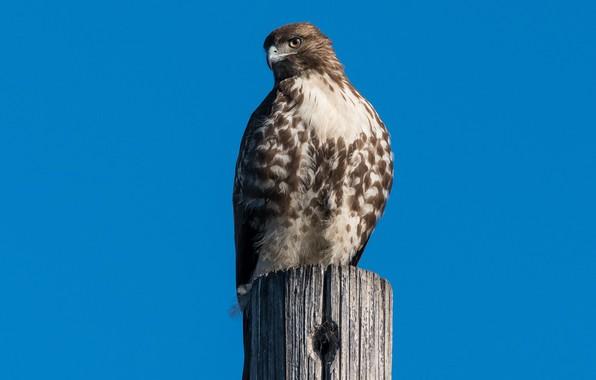 Picture birds, predator, red-tailed Buzzard
