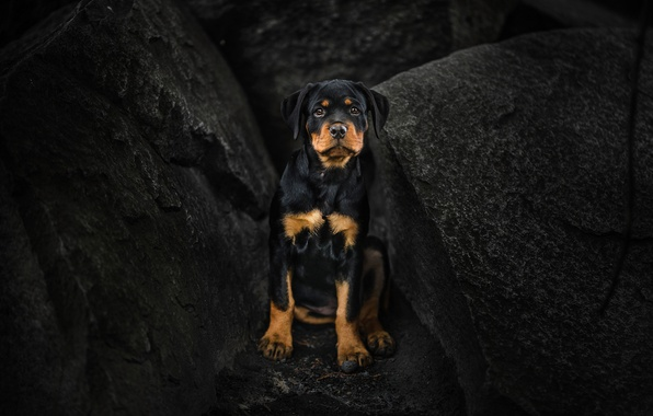 Picture look, stones, dog, puppy, Rottweiler