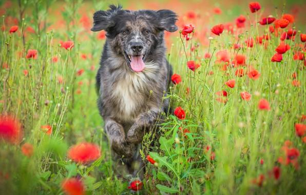 Picture field, language, summer, flowers, nature, jump, Maki, dog, running, poppy field, motley