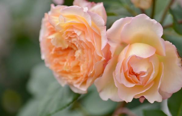 Picture macro, roses, petals, Duo