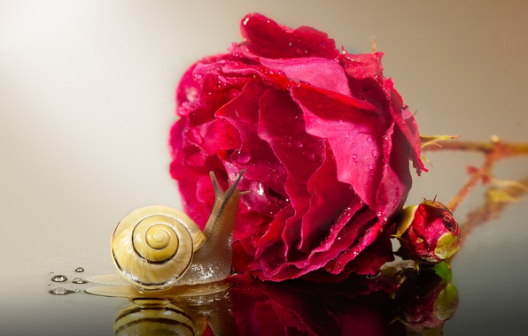 Picture drops, macro, reflection, rose, snail, Bud