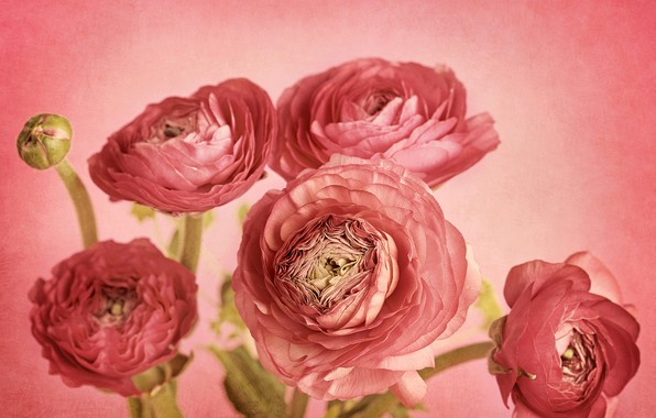 Picture flowers, petals, Bud, pink background, picture, composition, Ranunculus, Ranunculus pink