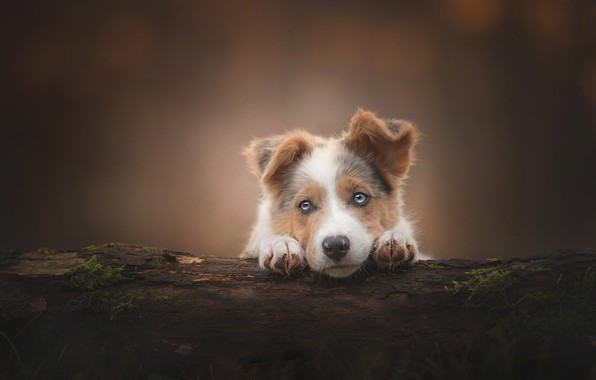 Picture look, background, dog, puppy, log, face, Australian shepherd, Aussie