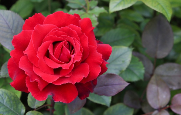 Photo wallpaper summer, Bush, beautiful, closeup, red, garden, nature, Rose, the view from the top
