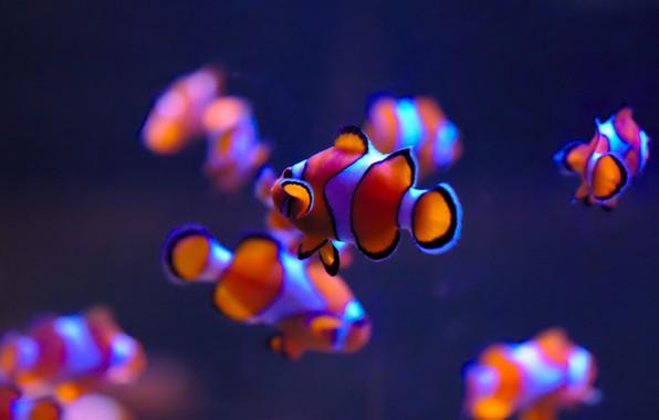 Picture fish, aquarium, Clown fish, Clownfish