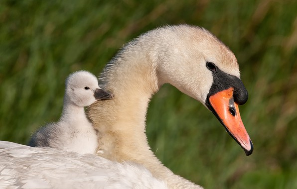 Picture birds, rider, Swan, chick