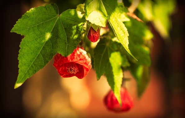 Picture Spring, Spring, Flowering, Bokeh, Bokeh, Red flowers, Flowering, Abutilon, Red flowers, Abutilon