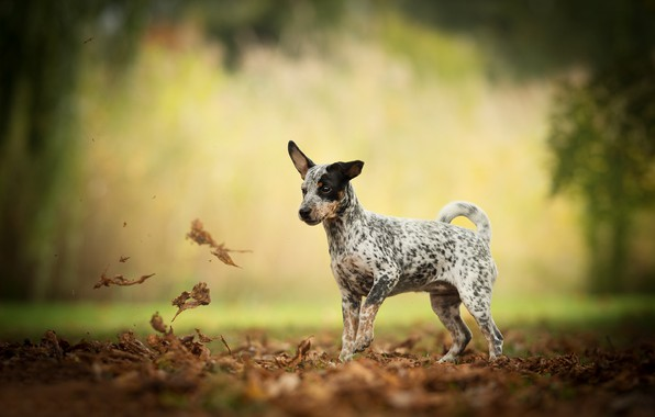 Picture autumn, leaves, dog, bokeh, doggie
