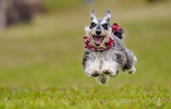 Picture joy, mood, jump, dog, flight, walk, bokeh, doggie, The miniature Schnauzer