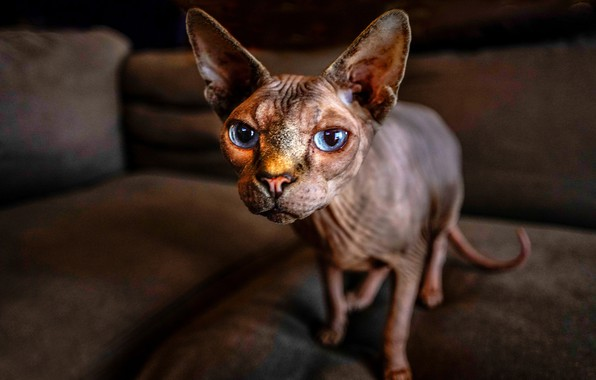 Picture cat, cat, look, face, ears, blue eyes, Sphinx
