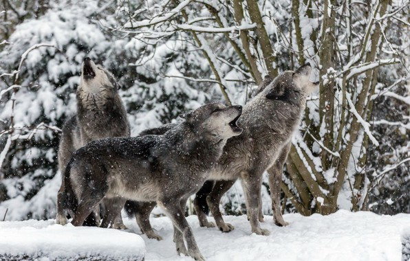 Picture winter, nature, wolves