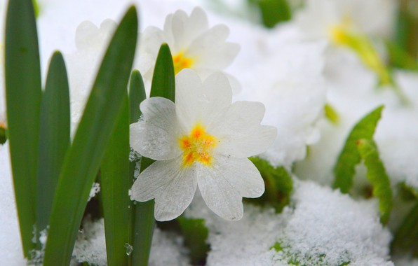 Picture Snow, Snow, White flowers, White flowers