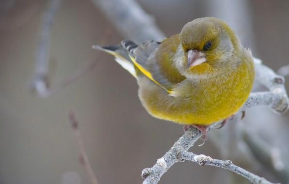 Picture bird, branch, common zelenushka