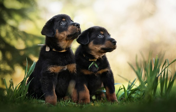 Picture dogs, puppies, kids, a couple, bokeh, twins, Beauceron, French shepherd