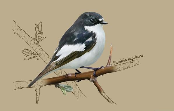 Picture art, bird, Flycatcher-Flycatcher, European pied flycatcher, kate kondrukhova