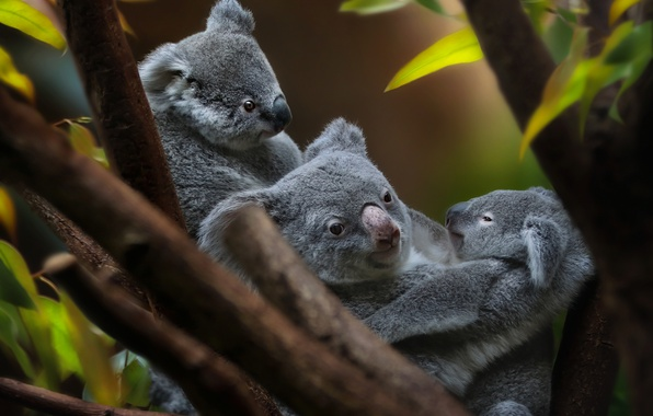 Picture cub, Koala, cute