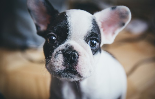 Picture look, puppy, face, bokeh, doggie, French bulldog