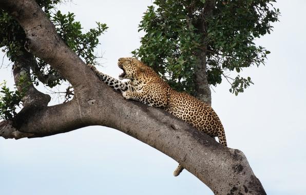 Picture tree, predator, Jaguar, handsome, roar