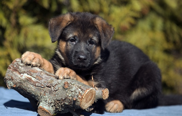 Picture puppy, log, shepherd