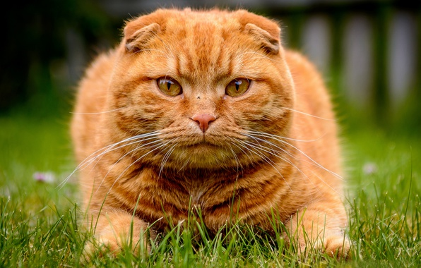 Picture grass, look, face, Kote, red cat, Scottish fold, Scottish fold cat