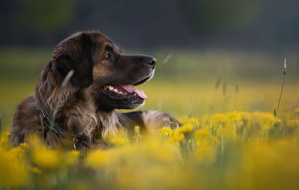 Picture flowers, nature, animal, dog, profile, dandelions, dog
