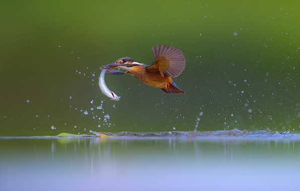 Picture water, fish, Kingfisher, catch