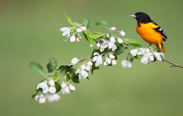 Picture flowers, bird, spring, Baltimore colored troupial, Baltimore Oriole
