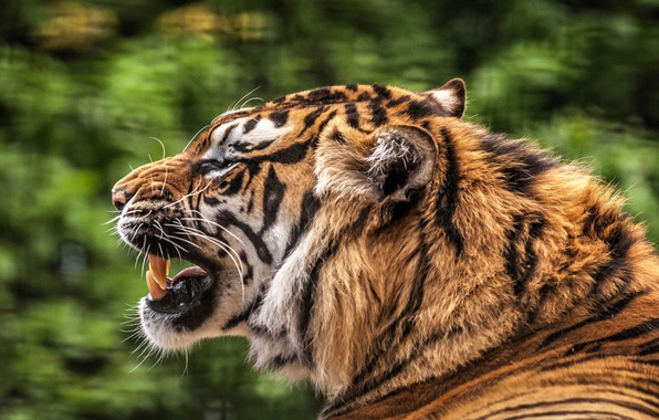 Picture cat, tiger, teeth, mouth