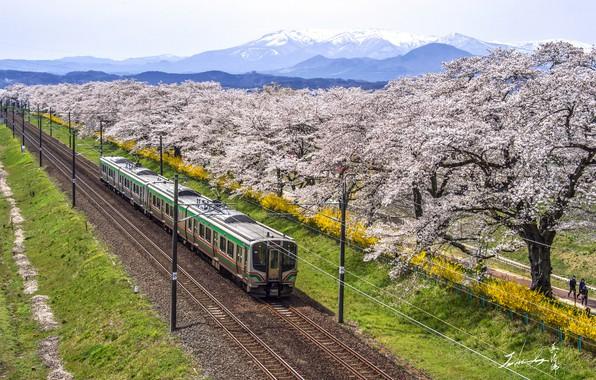 Picture landscape, mountains, train, Sakura