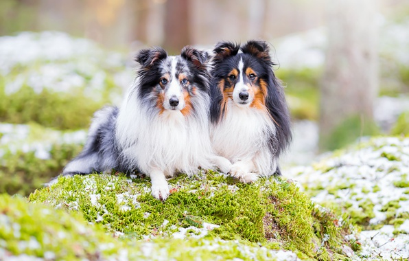 Picture dogs, nature, a couple, sheltie, Shetland Sheepdog