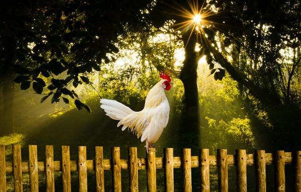 Picture summer, nature, bird, morning, sunrise, cock