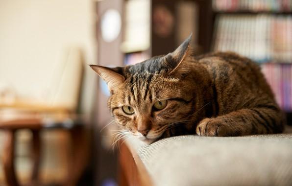 Picture cat, cat, look, muzzle, cat