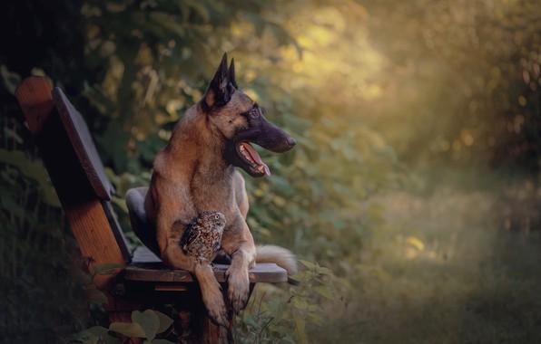 Picture nature, animal, owl, bird, dog, profile, bench, dog, shepherd