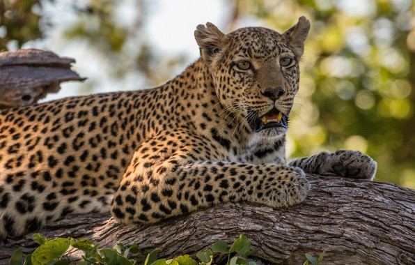 Picture face, stay, predator, leopard, lies, wild cat, on the tree