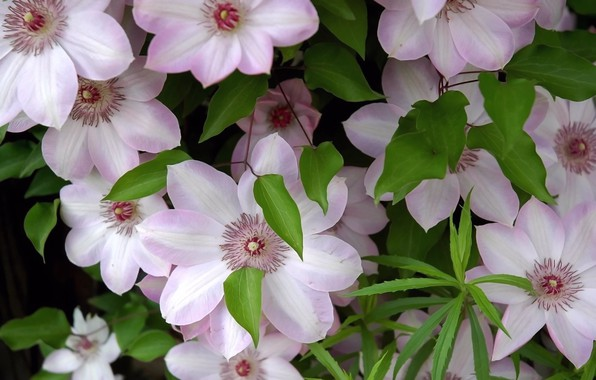 Photo wallpaper clematis, foliage, petals, freshness, stamens, tenderness, flowers