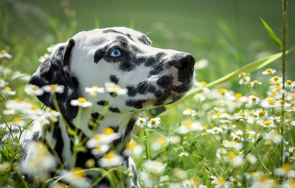 Picture summer, grass, face, the sun, flowers, chamomile, Dalmatian, bokeh