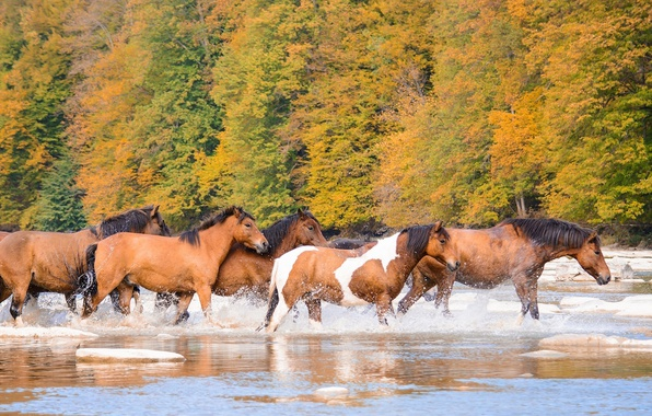 Picture autumn, river, horses, horse, the herd