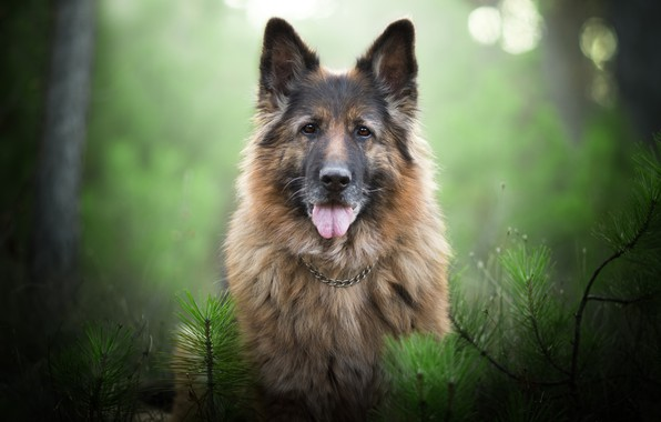 Picture look, face, branches, portrait, dog, bokeh, German shepherd