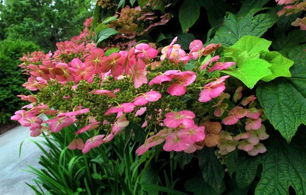 Picture Flowers, Flowers, hydrangea, Pink flowers, Hortensia, Pink flowers, Green leaves, Green leaves