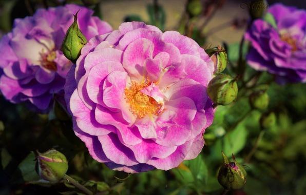 Picture Macro, Rose, Rose, Macro, Pink rose, Pink rose