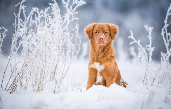 Picture winter, frost, field, grass, look, snow, nature, background, blue, dog, light, red, the snow, puppy, ...
