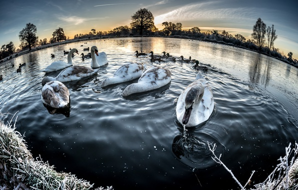 Picture winter, lake, swans