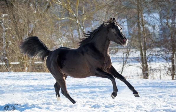 Picture horse, horse, running, grace, posing, crow, (с) Oliver Seitz