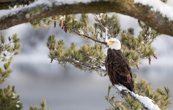 Picture branches, tree, bird, pine, Bald eagle