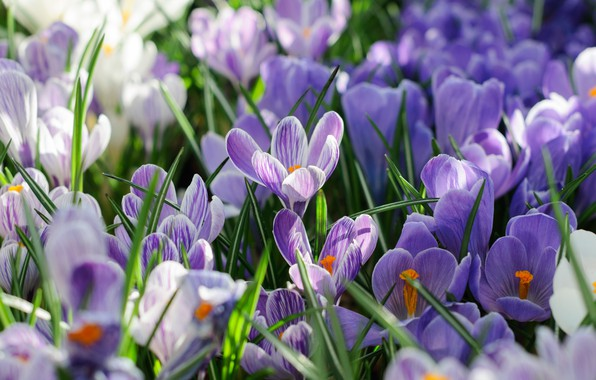 Photo wallpaper spring, petals, Crocuses, Saffron