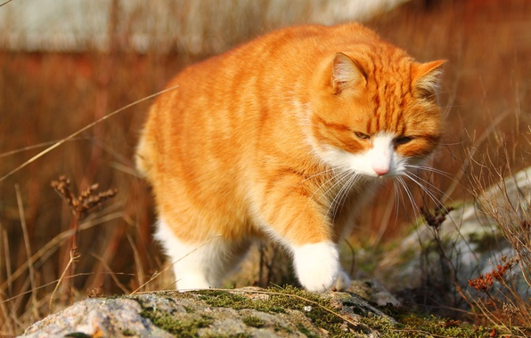 Picture autumn, cat, cat, nature, stones, background, moss, red, red, walk, is