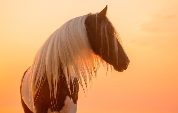 Picture face, the sun, light, sunset, horse, horse, mane, profile, color, piebald